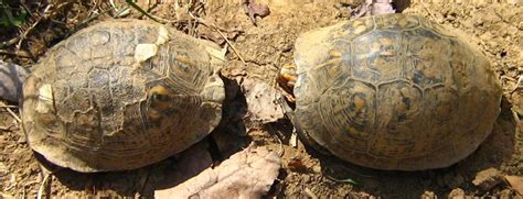 Box Turtle Shell Shedding by Box Turtle Mating Behavior Booboo S Boxies Turtle Forum