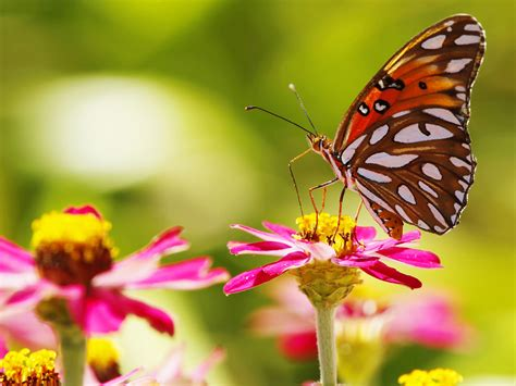 Pink Flowers, Butterfly, Insect, Bokeh Wallpaper