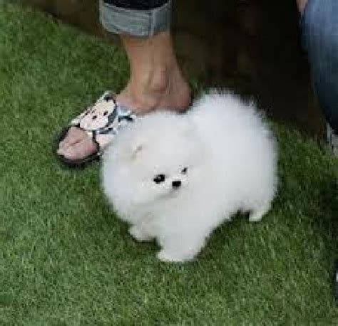 super cute baby pomeranian puppies  adoption picture