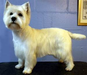 The gallery for --> West Highland Terrier Haircut Styles