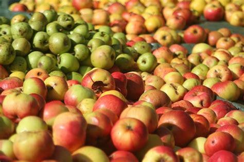 chambre agriculture cote d or rennes récolte des pommes à cidre 2015 s annonce bien