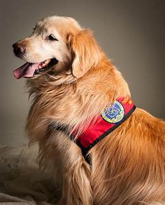 what does it take to become a therapy dog caregiver canines With dog caregiver