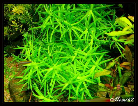 plante avant plan aquarium atlub