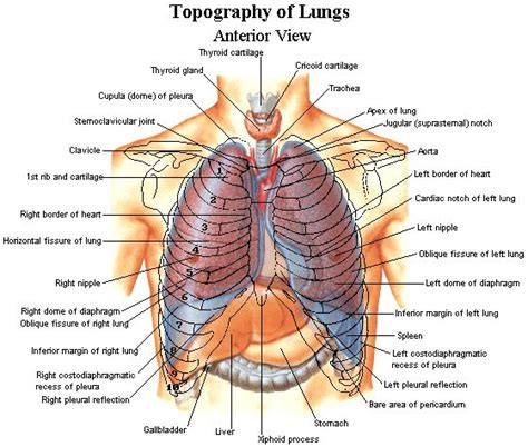 Organ Diagram by Topography Of Lungs Respiratory Anatomy Organs Human