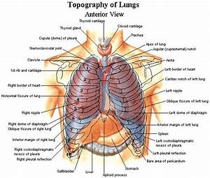 Topography Of Lungs