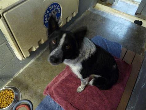border collie blue heeler mix temperament dog breeds picture
