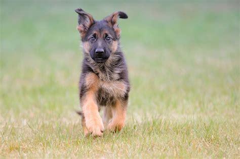 schaeferhund fotos und bilder