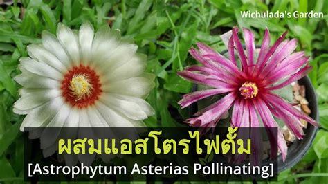 วิธีผสมเกสรแอสโตรไฟตั้ม แบบละเอียด ทำเองได้ ติดง่ายๆเลยคะ(Astrophytum Asterias Pollinating ...