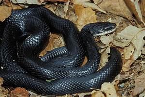SKALICKY Understanding Missouris Snakes News