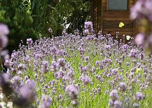 Verholzten Lavendel Schneiden : lavendula angustifolia der lavendel duftlavendel ~ Lizthompson.info Haus und Dekorationen