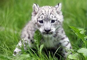 Baby snow leopard facts and pictures - chinese plum ...