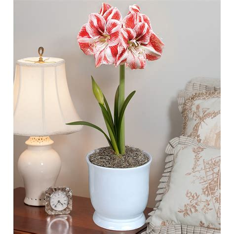 amaryllis popov white flower farm
