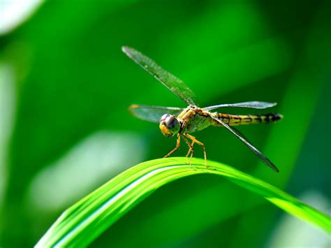 14 fun facts about dragonflies science smithsonian