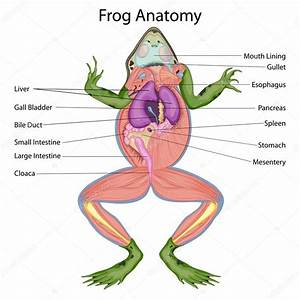 Education Chart Of Biology For Dissected Body Of Frog