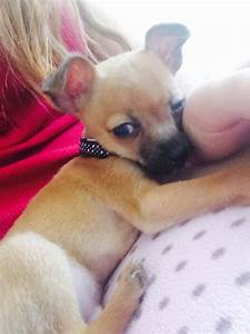 Tan Short Hair Chihuahua Puppy For Sale Small London