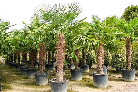 Garten Palme Winterfest Machen by Trachycarpus Fortunei Hanfpalme 330 340 Cm Winterhart