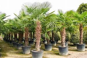 Palme Winterhart Kübel : trachycarpus fortunei hanfpalme 330 340 cm winterhart ~ Michelbontemps.com Haus und Dekorationen