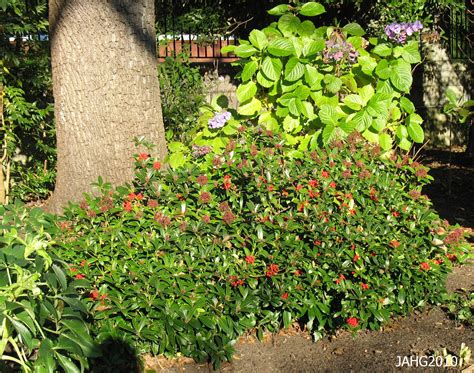 japanese plants the mysterious skimmia name that plant