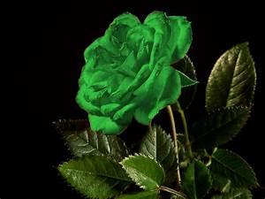 Rose Wallpaper: Green Rose HD Wallpaper Download Free