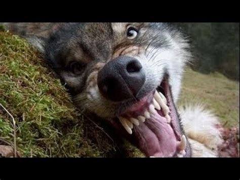 Gray wolves from the radioactive forbidden zone around the nuclear disaster site of chernobyl are the wolves are prospering not due to any mutant superpower, but because the radioactive zone now. Radioactive Wolf Of Chernobyl Documentary HD Wild Life ...