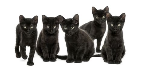 Protect Black Cats This Halloween Cattime