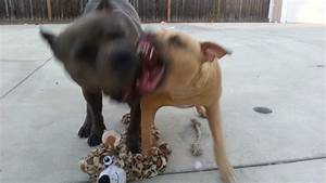 Blue nose & Red nose pit bull puppies fighting - YouTube