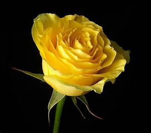 Rose - Wallpapers and Quotes - The Wondrous Pics