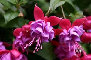 Blumen Für Schatten : balkonblumen die auch im schatten bl hen 5 sch ne pflanzideen ~ Whattoseeinmadrid.com Haus und Dekorationen