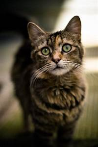 pretty brown patch tabby cat | kittens and cats ...