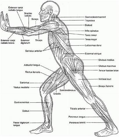 Anatomy Coloring Muscle Pages Physiology Muscles Printable