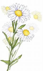 Romashka daisy Flower 10 clip arts, clip art - ClipartLogo com
