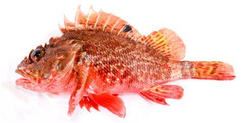 scorpaena scorpionfish rockcod papillosa fish cod rock kosher rockfish 1801 forster sculpin file pacific california schneider grandaddy wikipedia species commons