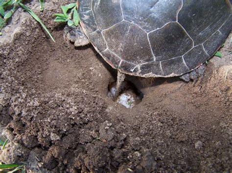 Faucet Factory Encinitas California by 100 Turtles And Tails Removing A Turtles Aquatic