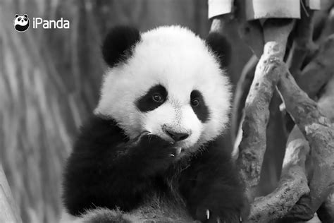 Chinese Panda Fans Demands Answers Over Cubs Death Ananova