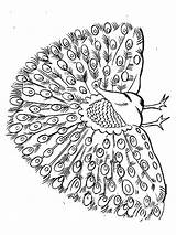 Peacock Coloring Pages Animals Printable Birds Colorong Mycoloring sketch template