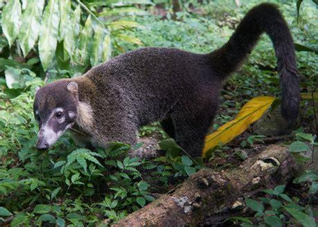 costa rica nature  wildlife kinkajou racoon  coati