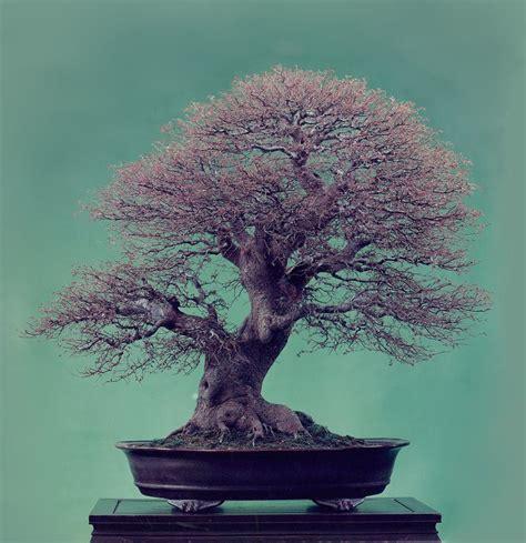 taille des bonsa 239 feuillus caduques en fin d hiver actubonsa 239