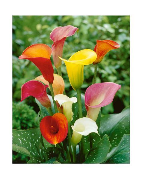 fiori calla calla