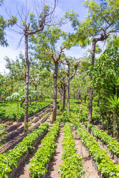 Coffee plantation sale (22 results in india). Guatemala Coffee Plantation Stock Image - Image of ranch, farming: 58236943