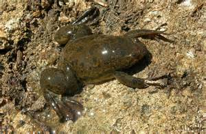 african clawed frog thinglink