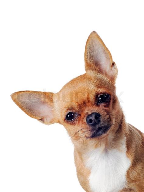 chihuahua dog  white background stock photo colourbox