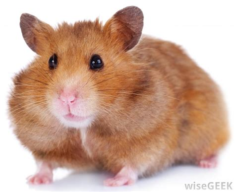 types of hamsters what are the different hamster breeds with pictures