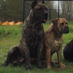 houfek mastiffs   family ran mastiff hybrid mix