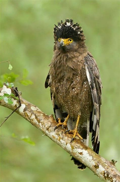 crested serpent eagle spilornis cheela birds  prey