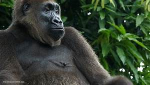 World's rarest gorilla gets a new protected home