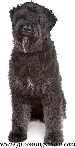 bouvier des flandres animals big  small dogs
