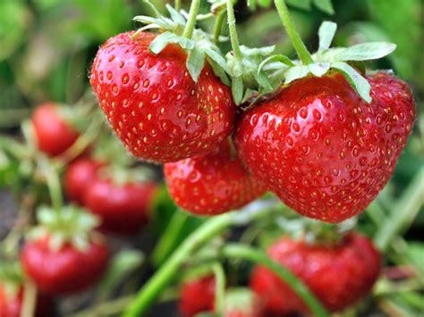 Garten Pflanzen Zeitpunkt by Erdbeeren Pflanzen Sorten Zeitpunkt Standort