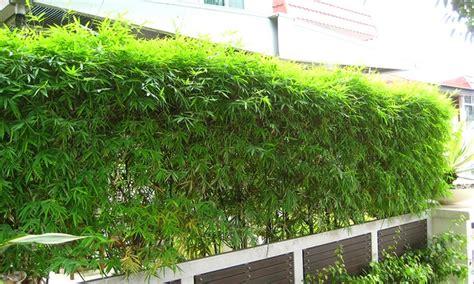 plantes bambou groupon