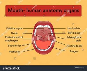 Parts Of Human Mouth  Open Mouth And White Healthy Teeth