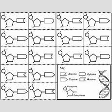 Constructing A Dna Ladder  Ag Biology  Biology Lessons, Biology Classroom, Dna Model